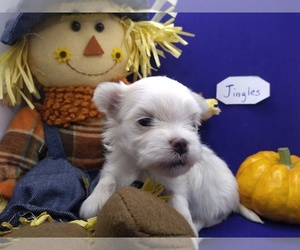 Maltese Litter for sale in NASHVILLE, NC, USA