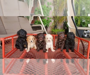 Labradoodle Litter for sale in FRESNO, CA, USA
