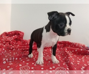Boston Terrier Litter for sale in LOUISVILLE, KY, USA