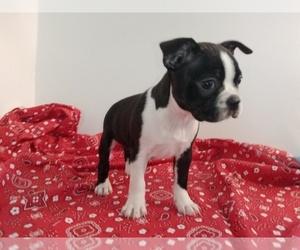 Boston Terrier Litter for sale in LOUISVILLE, KY, USA