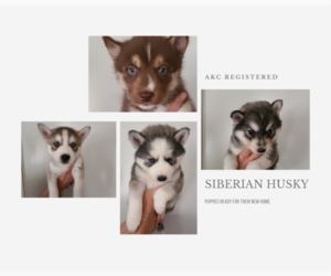 Siberian Husky Litter for sale in KENLY, NC, USA