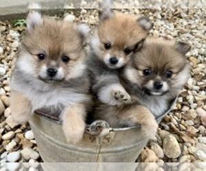 Pomeranian Litter for sale in ROME, GA, USA