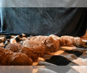 Goldendoodle Litter for sale in COOPER, TX, USA