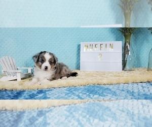 Miniature American Shepherd Litter for sale in COLLEGE STA, TX, USA