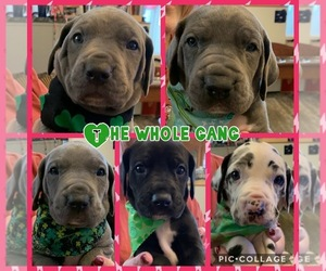 Great Dane Litter for sale in MERCER, PA, USA