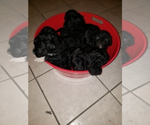 Goldendoodle Litter for sale in LEBANON, MO, USA