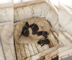 Cane Corso Litter for sale in TRINIDAD, CO, USA