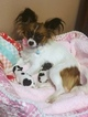Papillon Puppy For Sale in CACHE JUNCTION, UT, USA