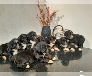 Bernedoodle Litter for sale in SHIPSHEWANA, IN, USA