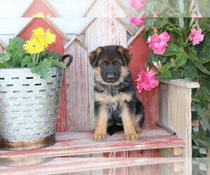 German Shepherd Dog Litter for sale in MILFORD, IN, USA