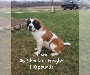 Saint Bernard Litter for sale in COLBY, WI, USA