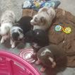 Australian Shepherd Puppy For Sale in BRENTWOOD, TN, USA