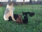 Poodle (Standard) Puppy For Sale in SHELBYVILLE, KY, USA