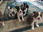 Boston Terrier Puppy For Sale in IMPERIAL BEACH, CA, USA