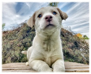View Ad Siberian Husky Staffordshire Bull Terrier Mix Litter Of