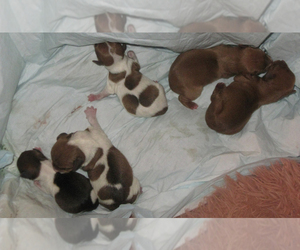 Rat Terrier Litter for sale in EVERGREEN, AL, USA