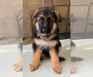 German Shepherd Dog Litter for sale in HACIENDA HEIGHTS, CA, USA