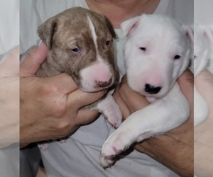 Bull Terrier Litter for sale in LONG BEACH, CA, USA