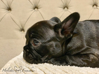 French Bulldog Puppy For Sale in LAKE GROVE, OR, USA