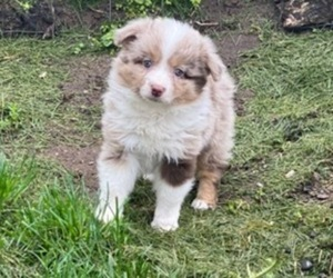 Australian Shepherd Litter for sale in NILES, MI, USA