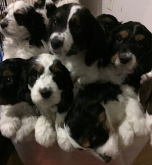 View Ad: Springerdoodle Litter of Puppies for Sale near California