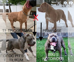 American Bully Litter for sale in ATCO, NJ, USA
