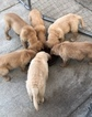 Golden Retriever Puppy For Sale near 94134, San Francisco, CA, USA