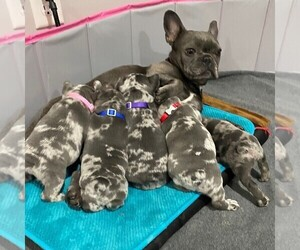 French Bulldog Litter for sale in KANSAS CITY, MO, USA