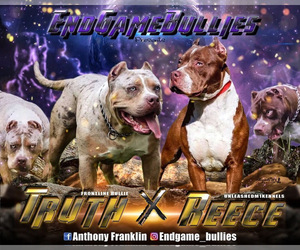American Bully Litter for sale in ORANGEBURG, SC, USA