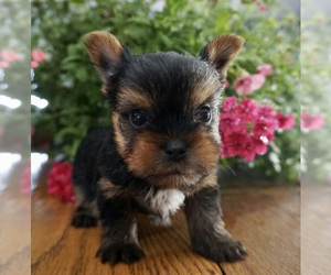 Yorkshire Terrier Litter for sale in NAPPANEE, IN, USA