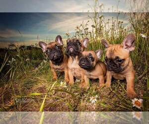 French Bulldog Litter for sale in EAU CLAIRE, WI, USA
