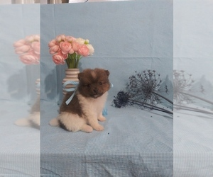 Pomeranian Litter for sale in SHIPSHEWANA, IN, USA