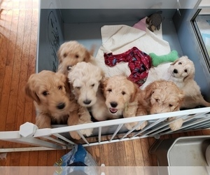 Double Doodle Litter for sale in HIGH POINT, NC, USA