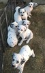 Dalmatian Puppy For Sale in BAKERSFIELD, CA, USA