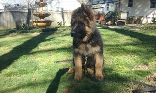 German Shepherd Dog Litter for sale in AND, SC, USA