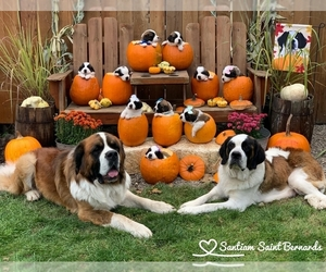 Saint Bernard Litter for sale in STAYTON, OR, USA