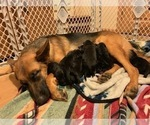 German Shepherd Dog Puppy For Sale in BEDFORD, IN, USA