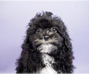 Shih-Poo Litter for sale in WARSAW, IN, USA