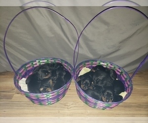 Doberman Pinscher Litter for sale in VINELAND, NJ, USA