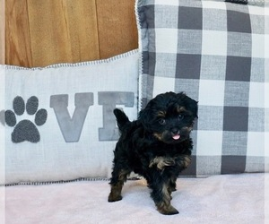YorkiePoo Litter for sale in WARSAW, IN, USA