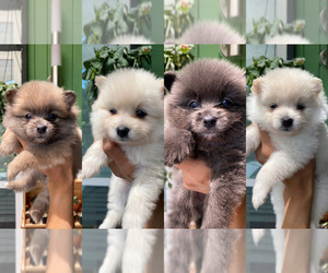 Pomeranian Litter for sale in ARLINGTON, TX, USA