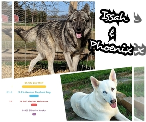 Wolf Hybrid Litter for sale in RICHMOND, KY, USA