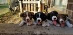 Border Collie Puppy For Sale in FARMINGTON, UT, USA