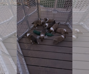 Collie Litter for sale in CHATTANOOGA, TN, USA