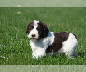 Springerdoodle Litter for sale in SAINT IGNATIUS, MT, USA