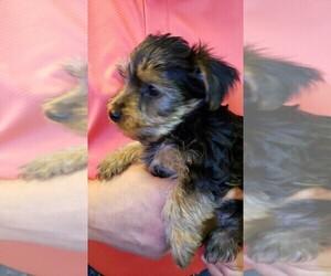 Yorkshire Terrier Litter for sale in ARLINGTON, TX, USA