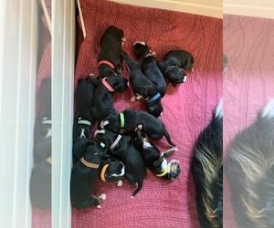 Bernese Mountain Dog Litter for sale in MC KINNEY, TX, USA