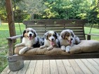Australian Shepherd Puppy For Sale in GEORGETOWN, TN, USA