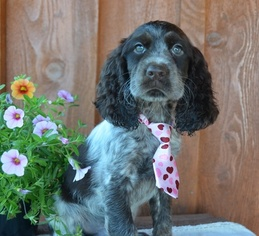 View Ad: English Springer Spaniel Litter of Puppies for Sale near