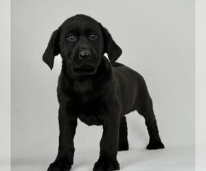 Labrador Retriever Litter for sale in NAPPANEE, IN, USA